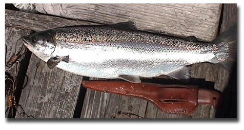 Sparkling fresh caught salmon caught on a Maynard Marvel streamer fly on surface in May.