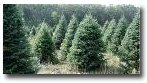 Pick Your Own Christmas Trees